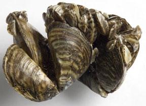 pile of zebra mussels