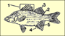 characteristics of white bass