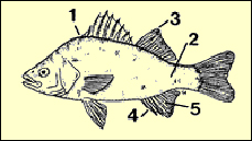 characteristics of white perch