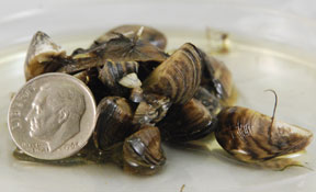 zebra mussels can grow to be bigger than a dime