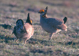 two lesser prairie chickens